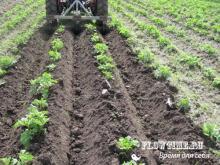 Условия высадки картофеля в грунт