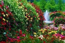 Как правильно выбрать саженцы роз